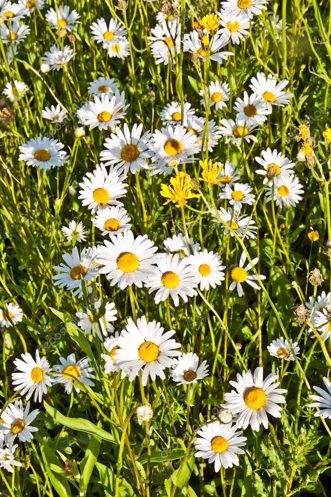 Beautiful chamomiles in the meadow  Stock Photo #6838974