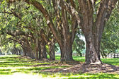 Beautiful OAK alley in South Carolina — Stock Photo