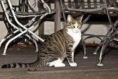 Tiger cat on a wooden balcony watching the area — Stock Photo