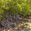 Stock Photo: Mangroves in the keys