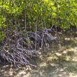 Mangroves in the keys — Stock Photo