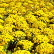 Beautiful marigold arranged in a flower bed - Stock Photo