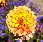 Beautiful blooming dahlia in flower bed — Stock Photo