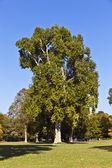 Piękne stare drzewa samolotu w parku — Zdjęcie stockowe