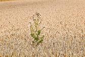 Champs de maïs avec prêtes pour la récolte de maïs — Photo