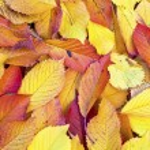 秋の葉葉の色あせたで横になっています。 — ストック写真