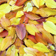 Autumn leaves lying in the faded foliage — Stock Photo #7510933
