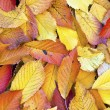 Autumn leaves lying in the faded foliage — Stock Photo