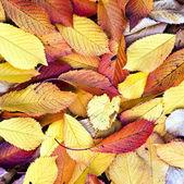Podzimní listí ležící v vybledlé listy — Stock fotografie