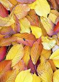 Herbstlaub in dem welken laub liegend — Stockfoto