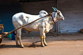 OX chart in the narrow streets of old Delhi — Stock Photo