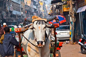 Ox cart transportation on early morning in Delhi, India — Stock Photo