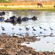 Cow resting in the lake with birds picking for insects — Stock Photo #7896888