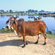 Cow has a rest in the lake of the village — Stock Photo