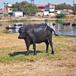 Cow has a rest in the lake of the village - Stock Photo