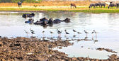 Cow resting in the lake with birds picking for insects — Stock Photo