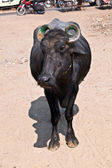 Cow in the village — Stock Photo