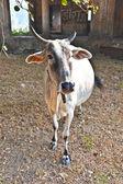 Mucca solitaria in un territorio abbandonato — Foto Stock