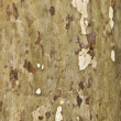 Pattern of plane bark of a tree - Stock Photo