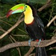Toucan - Foto Stock