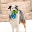 Australian Shepard and Toy Balls — Stock Photo #7452244