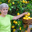 Adult picking lemons — Stock Photo