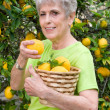 Adult picking lemons from tree — Stock Photo
