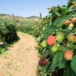Blackberry orchard — Stock Photo #7452514