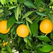 Orange tree — Stock Photo #7452537
