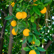 Orange tree — Stock Photo #7452541