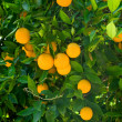 Orange tree — Stock Photo #7452543