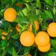Orange tree — Stock Photo #7452546
