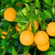 Orange tree — Stock Photo #7452549