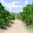 Stock Photo: Orange grove