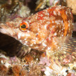 Painted greenling fish — Stock Photo #7453655
