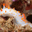 Clown nudibranch — Stock Photo