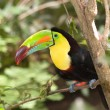 colorful toucan — Stock Photo