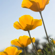 Four Mexican Poppies - Stock Photo