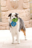Australian Shepard and Toy Balls — Stock Photo