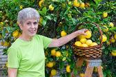 Adult picking lemons — Stock Photo