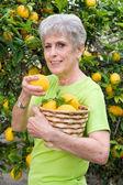 Adult picking lemons from tree — Stock Photo