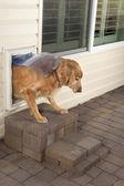 Doggie door and pet — Stock Photo
