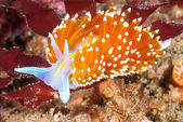 Colorful nudibranch — Stock Photo