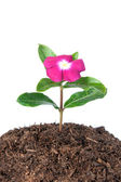 Flower in soil — Stock Photo