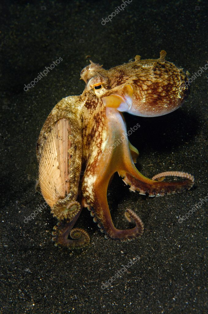 A coconut octopus walks across the bottom of the sea carrying its shell that it uses for protection after it burries itself under the sand. — Stock Photo #7453247
