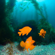 Orange fish on ocean reef - Stok fotoğraf