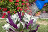 Money plant being watered — Stock Photo