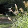 Japanese pampas grass — Stock Photo