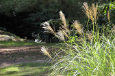 Japanese pampas grass — Stock Photo