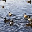 Swimming ducks — Stock Photo